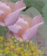 rose e mimose - by criBo